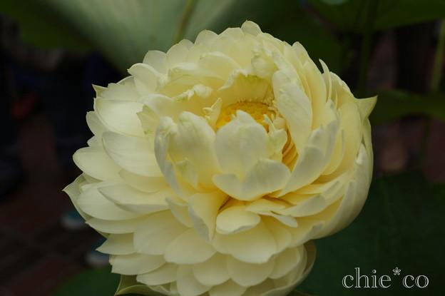 写真: 蓮の花~玉葉黄(ぎょくようき)~