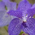 写真: 青紫の胡蝶蘭。。