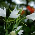 写真: 白い桔梗。。
