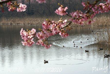 河津桜咲く・・三浦海岸・・13