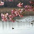 写真: 河津桜咲く・・三浦海岸・・13