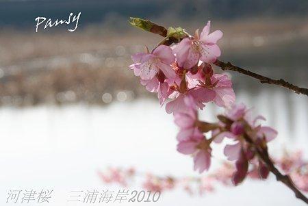 河津桜咲く・・三浦海岸・・14