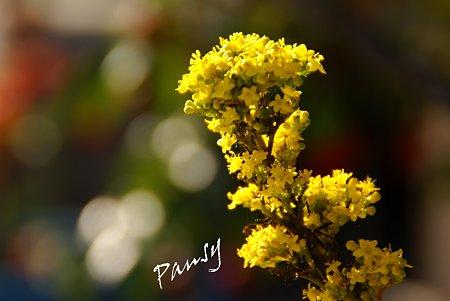 黄色の小花・・