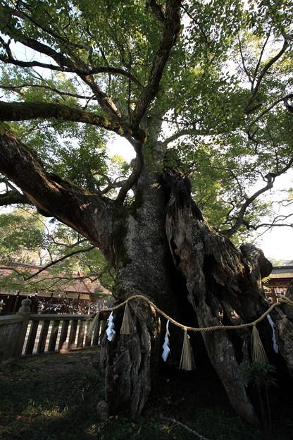 樹齢2600年