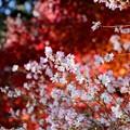 Photos: 桜と紅葉