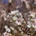 写真: 光明寺の10月桜