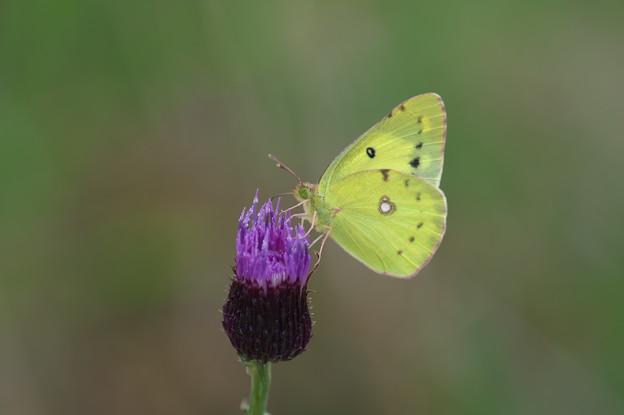 蝶の季節(モンキチョウ)