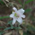 写真: 大輪の花(ササユリ)