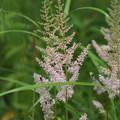 写真: 湿原の花(チダケサシ)