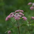 写真: 湿原の花(サワヒヨドリ)