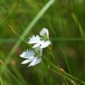 湿原の花(サギソウ)