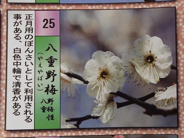 2015_0221花小金井八重野梅023