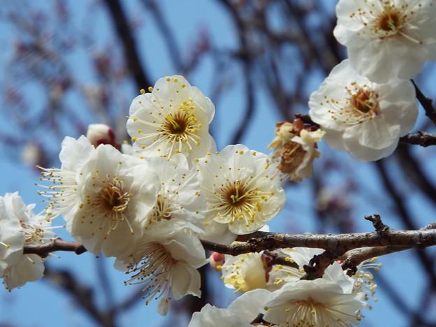 2015_0221花小金井八重野梅0135
