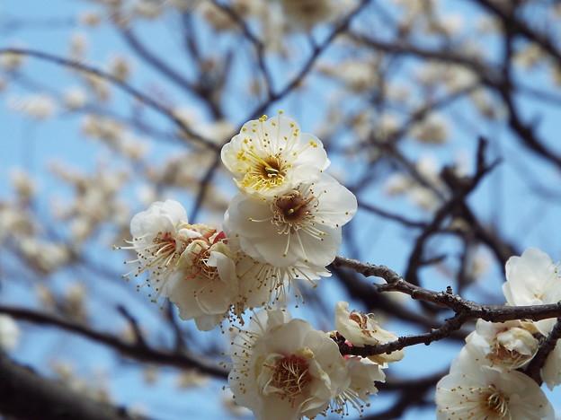 2015_0221花小金井八重野梅0137