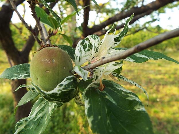 1705110081翁梅の実と新芽