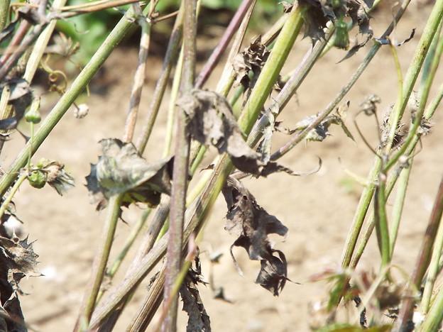 1706230041ケシの茎と葉