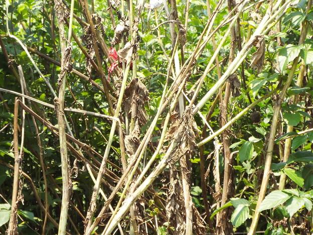 1706230039ケシの茎と葉