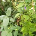 アキチョウジ園芸種とハチ1708310039