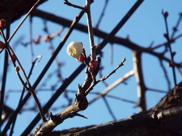 八重冬至@鹿嶋神社鳥居1712210006