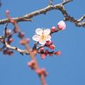 Photos: 1801230035紅冬至秋篠宮お手植え