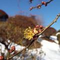 Photos: 1801230056酈懸梅一番花