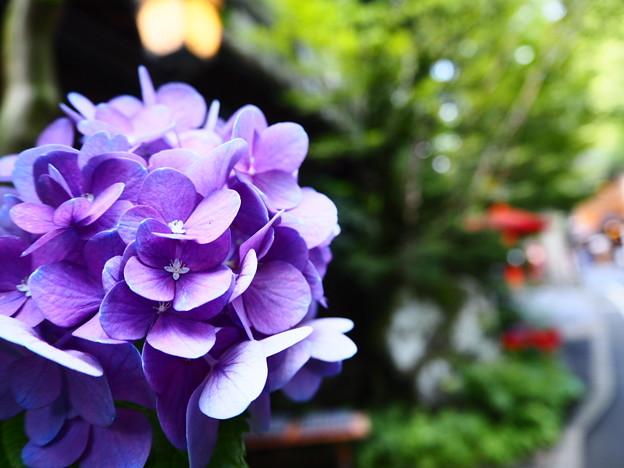 写真: 貴船の紫陽花