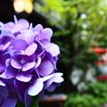 貴船の紫陽花