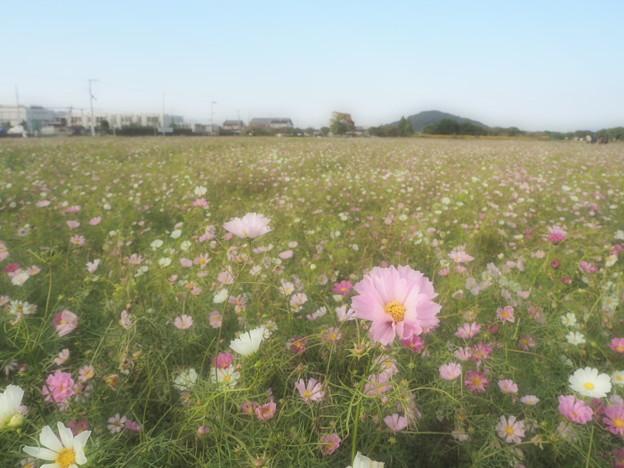耳成山とコスモス畑