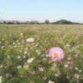 写真: 耳成山とコスモス畑