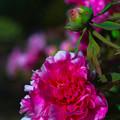 写真: 庭先の牡丹