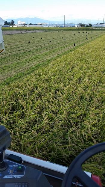 稲刈り始まる!