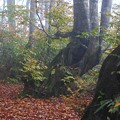 朝霧のブナ林