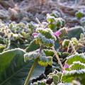 写真: 霜の花~