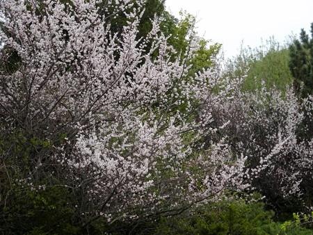 170515-19桜