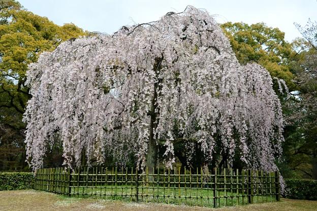 再会は咲き誇る笑顔糸桜