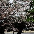 京都御苑清和院御門近くの山桜