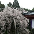 太閤の花見豪勢大枝垂れ