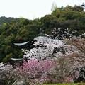 写真: 観音堂をとりまく桜