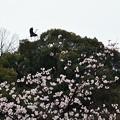 桜とアオサギ2羽