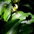 写真: カタクリの花と影