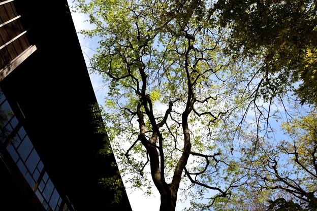 見上げれば青葉若葉と春の空