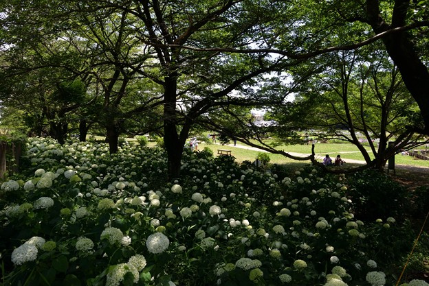 雪山のむこうが菖蒲園