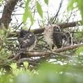 写真: ツミ幼鳥2
