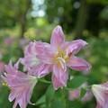 写真: ピンクの八重のユリ