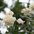 雨あがりのご近所薔薇