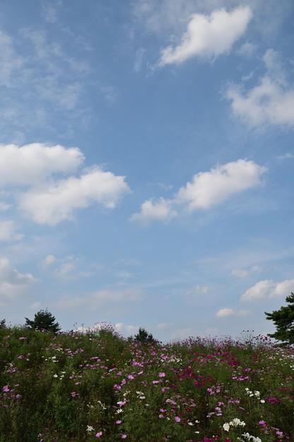コスモスの上には秋の雲