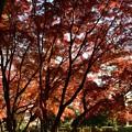 京都御苑の大きな紅葉