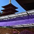 写真: 五重塔と菊
