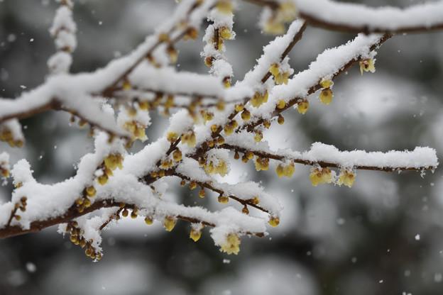 庭の雪ロウバイ
