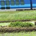 写真: 「しまかぜ」とツバメチドリ